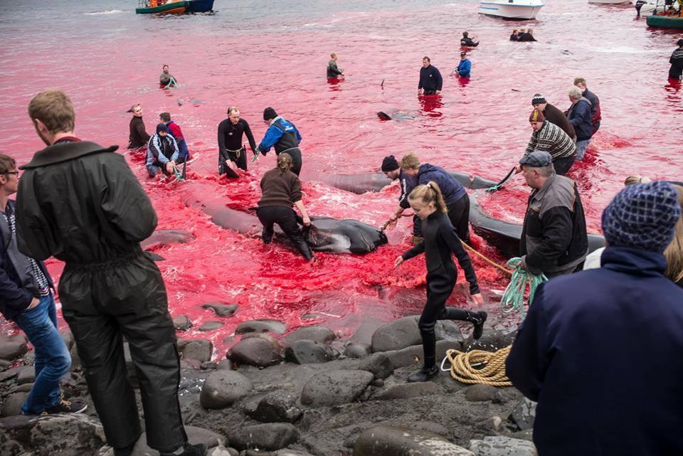 La pratique est interdite, mais les Îles Féroé (Danemark) s'en moquent.